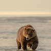 MGB-13-256: Alaskan Brown Bear