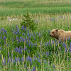 Brown Bear in the Lupines