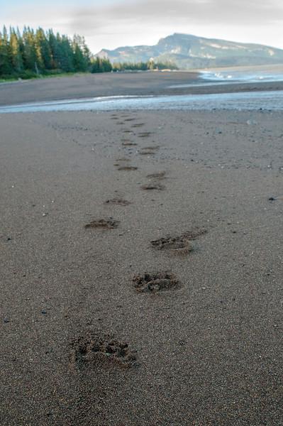 MGB-13-447-72: Brown Bear tracks leading to creek