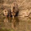 MGB-13-295: Thirsty bear family