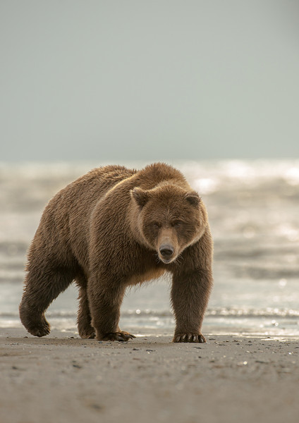 MGB-13-193: Coastal Brown Bear