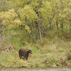 MGB-6674: Brown Bear at Brooks River