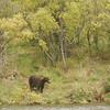 MGB-6674: Brown Bear at Brooks River