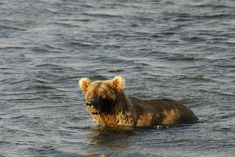 MGB-6117: Brown bear in Naknek Lake
