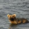 MGB-6117: Brown bear in Naknek Lake