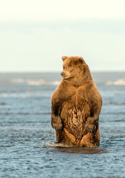 MGB-13-377: Evening Light on standing Brown Bear