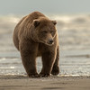 MGB-13-189: Alaskan Brown Bear