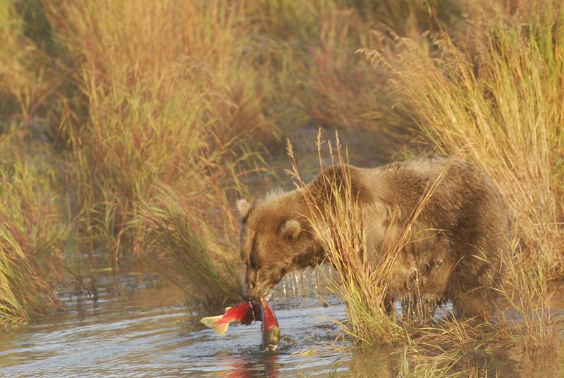 MGB-6434: Brown Bear with Sockeye Salmon