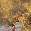MGB-6434: Brown Bear with Sockeye Salmon