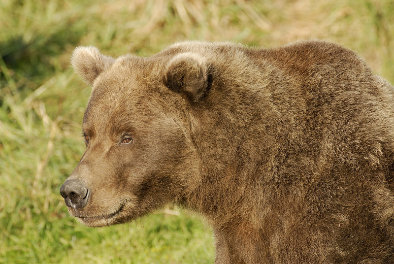 MGB-6590: Brown Bear portrait