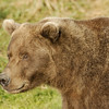 MGB-6590: Brown Bear portrait