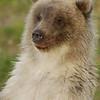 MGB-6275: Brown Bear cub