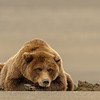 MGB-13-211: Tired Brown Bear