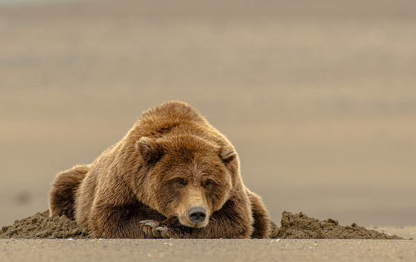 MGB-13-211: Tired Brown Bear