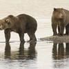 MGB-6518: Brown Bear siblings