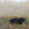 MGB-6363: Misty morning Brown Bear