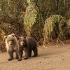 MGB-13-324: Brown Bear cubs