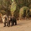 MGB-13-324: Brown Bear cubs