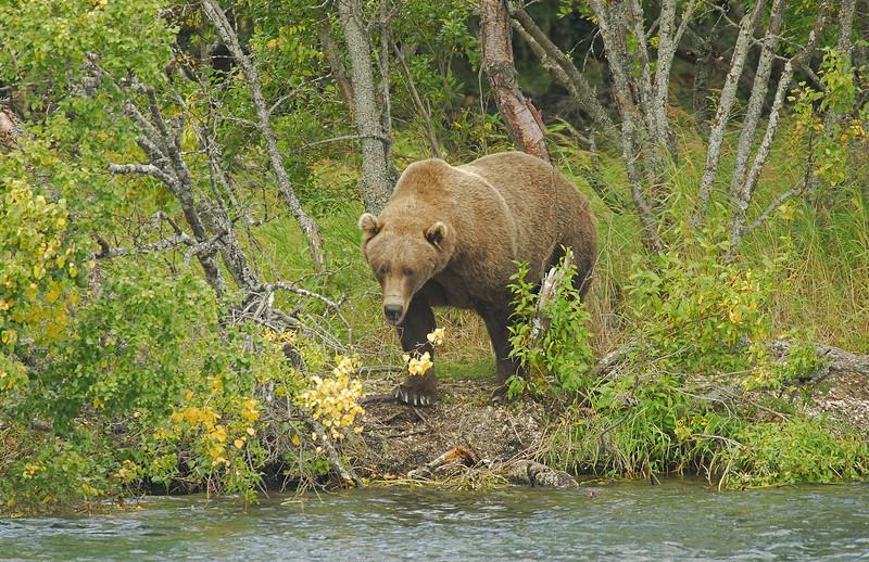 MGB-6042: Alaskan Brown Bear at the Brooks River