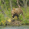 MGB-6042: Alaskan Brown Bear at the Brooks River