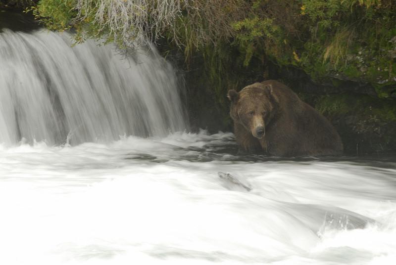MGB-6690: Brown Bear at Brooks Falls