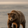 MGB-13-264: Brown Bear on the move