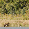 MGB-6331: Brown Bear in habitat