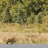 MGB-6331: Brown Bear in habitat