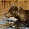 MGB-6468: Brown Bear portrait