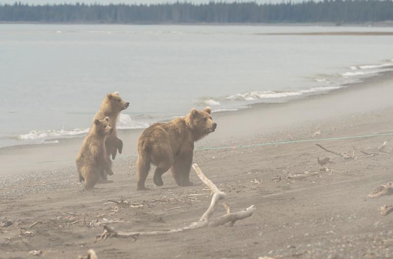 Alert Brown Bears in morning fog