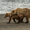 Sow and cub on the beach