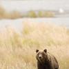 MGB-6698: Brown Bear in its habitat