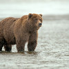 MGB-13-101: Alaskan Brown Bear