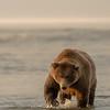 MGB-13-259: Brown Bear