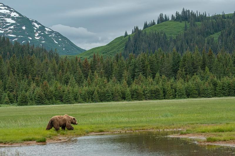 Brown Bear along Silver Salmon Creek