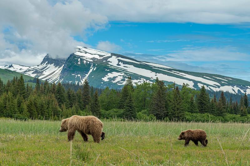 Brown Bears in their environment