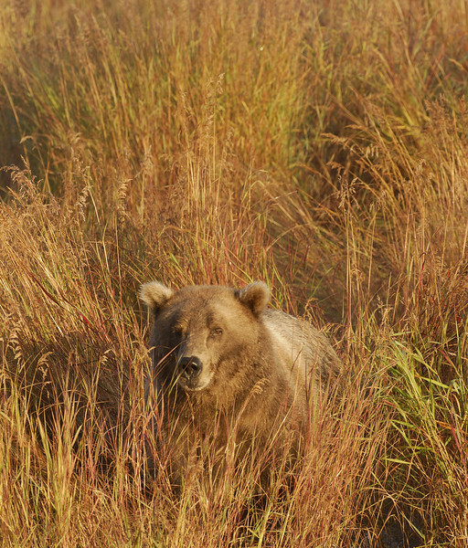 MGB-6425: Brown Bear in fall grasses