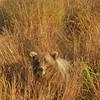 MGB-6425: Brown Bear in fall grasses