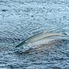 MGB-447-67: Silver Salmon (Chinook Salmon)