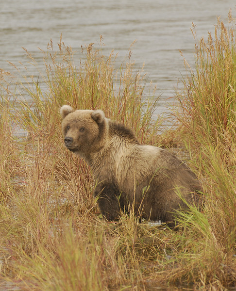 MGB-6476: Alaskan Brown Bear