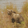 MGB-6476: Alaskan Brown Bear