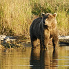 MGB-6465: Brown Bear on the Brook River