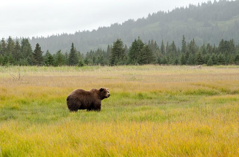 MGB-13-447-126: Brown Bear in sedge meadow