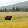 MGB-13-447-126: Brown Bear in sedge meadow