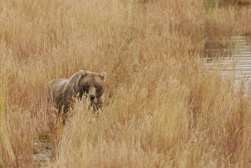 MGB-6479: Alaskan Brown Bear in fall grass