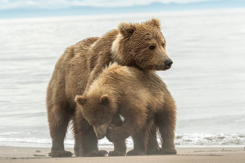 Sow and cub at low tide