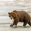 MGB-13-141: Brown Bear with dinner