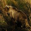 MGB-6636: Sunset Brown Bear