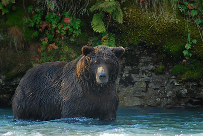 Grizzly Bear in Katmai National Park, near Geographic Harbor Alaska, Big Mama, estimated at 800 lbs, took a fish whenever she wanted one.