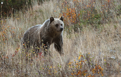 Grizzly bear cub in Waterton